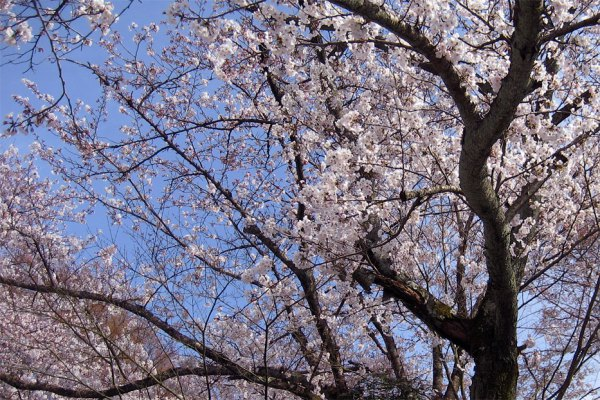japanese-cherry-blossom-sakura-close-up
